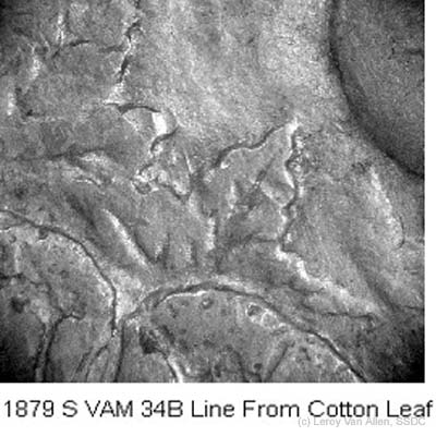 1879-S VAM-34B Line Cotton Leaf.jpg